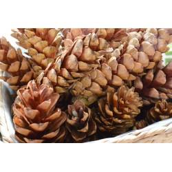 Pomme de pain 20-25 cm