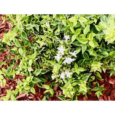 Abelia x grandiflora Kaléidoscope