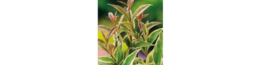 Arbustes persistants et semi-persistants